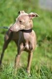 Peruviaanse Kale Hond royalty-vrije stock foto's