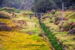 Peruviaanse Lama dichtbij de Sacsayhuaman-Ruïnes Stock Foto