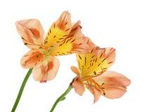 Peruviaanse Lelies (aurea Alstroemeria) Royalty-vrije Stock Afbeelding