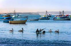 Peruviaanse pelikanen die in de wateren van de Vreedzame oceaan in het nationale Park van Paracas, Peru baden Stock Fotografie