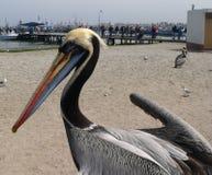 Peruviaanse Pelikanen Pelecanus Thagus Stock Afbeelding