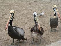 Peruviaanse Pelikanen Pelecanus Thagus Royalty-vrije Stock Fotografie