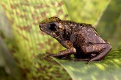 Peruvian Амазонка лягушки стрелки отравы Стоковое Изображение RF