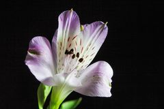 peruvian лилии цветка стоковые фото