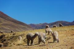 Alpaca. Peruvian alpaca in Andes Stock Images