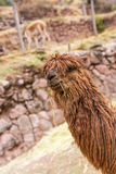 Peruvian alpaca. Farm of llama,alpaca,Vicuna in Peru,South America. Andean animal Royalty Free Stock Photo