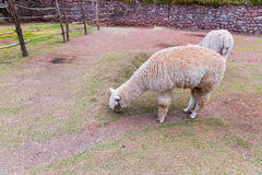 Peruvian alpaca. Farm of llama,alpaca,Vicuna in Peru,South America. Andean animal. Royalty Free Stock Image