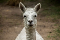 Peruvian Alpaca Front View. A front view of a Peruvian Alpaca in the central Andres royalty free stock photography