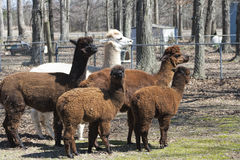 Peruvian Alpaca Group - Vicugna pacos Royalty Free Stock Photography