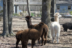 Peruvian Alpacas - Vicugna pacos Royalty Free Stock Photography