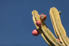 Peruvian apple cactus, Cereus repandus Stock Photos
