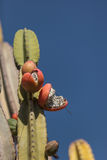 Peruvian apple cactus, Cereus repandus Royalty Free Stock Photography