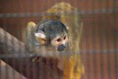 Peruvian black-capped squirrel monkey Saimiri boliviensis peruvi. Ensis watches from a cage Royalty Free Stock Photography