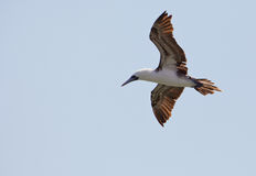 Peruvian Booby Royalty Free Stock Photography