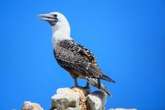 Peruvian booby in Ballestas islands Reserve in Peru Royalty Free Stock Image