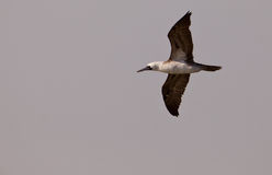 Peruvian Booby in flight Stock Image