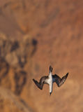 Peruvian Booby in nosedive Stock Photos