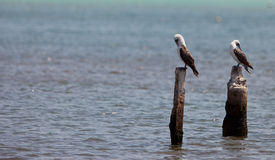 Peruvian Booby on poles Stock Photo