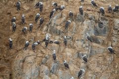 Peruvian booby on a rock at the coast near Lima Royalty Free Stock Photography