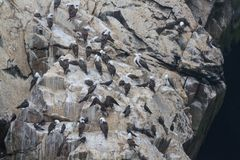Peruvian booby on a rock at the coast near Lima Stock Photography