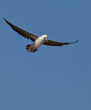 Peruvian Booby in the sky Royalty Free Stock Image