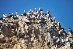 Peruvian booby, Sula variegata,  on the cliff, Paracas, Peru Stock Photo