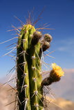 Peruvian Cactus. Single cactus growing in Canyon Colca in Peru royalty free stock photography