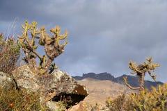 Peruvian cactuses Royalty Free Stock Image