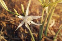 Peruvian Daffodil. Ismene flower on the Crete sea cost. Greece stock photos