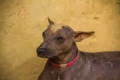 Peruvian dog animals america Stock Photography