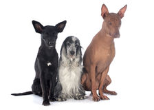 Peruvian dogs anc cocker Stock Photography
