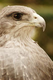 Peruvian eagle royalty free stock images