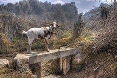 Peruvian Goat Royalty Free Stock Image
