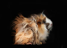 Peruvian guinea pig. 3 months old Peruvian guinea pig with black background Stock Photo
