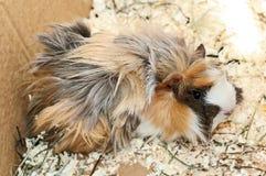 Peruvian guinea pig. 3 months old Peruvian guinea pig in a paper box stock image