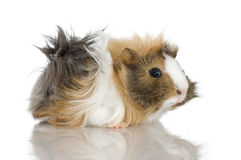 Peruvian guinea pig Stock Photography
