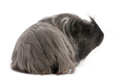 Peruvian guinea pig, Cavia porcellus, lying Royalty Free Stock Photo