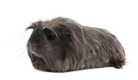 Peruvian guinea pig, Cavia porcellus, lying Stock Photography
