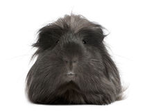 Peruvian guinea pig, Cavia porcellus, lying Royalty Free Stock Image