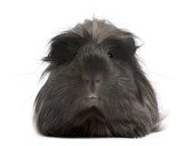 Peruvian guinea pig, Cavia porcellus, lying Royalty Free Stock Image