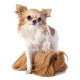 Peruvian Guinea Pig and chihuahua Stock Photography