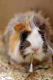 Peruvian guinea pig closeup. 3 months old Peruvian guinea pig eating grass Royalty Free Stock Image