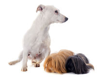 Peruvian Guinea Pig and dog Royalty Free Stock Image