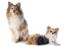 Peruvian Guinea Pig and dogs Stock Photos