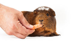 Peruvian Guinea Pig Eating Carrot Stock Photography
