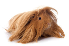 Peruvian Guinea Pig. In front of white background Stock Image