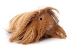 Peruvian Guinea Pig Stock Image