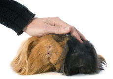 Peruvian Guinea Pig Royalty Free Stock Image