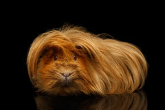 Peruvian Guinea pig on isolated black background royalty free stock images