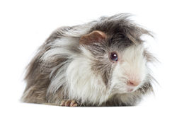 Peruvian Guinea Pig, isolated Royalty Free Stock Images